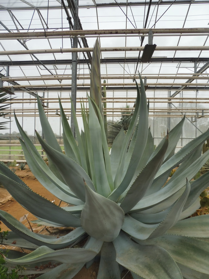 Agave pachycentra