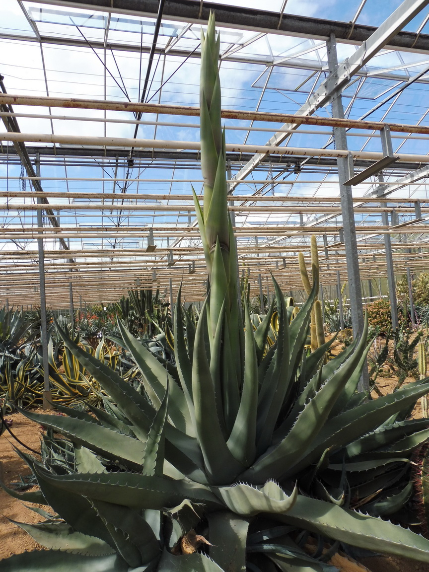 Agave scabra