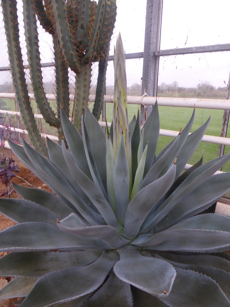 Agave sp