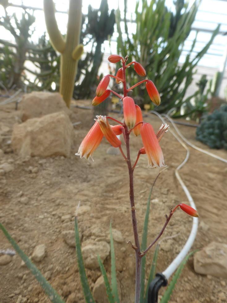Aloe castillonae X pronkii