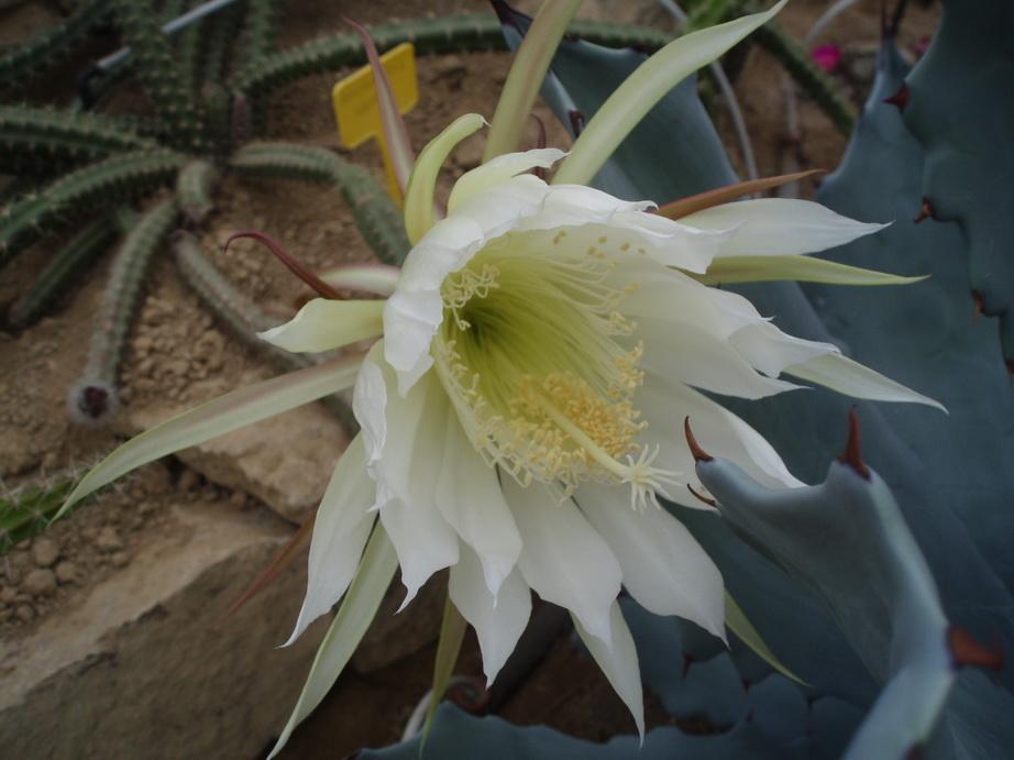 Aporocactus sp