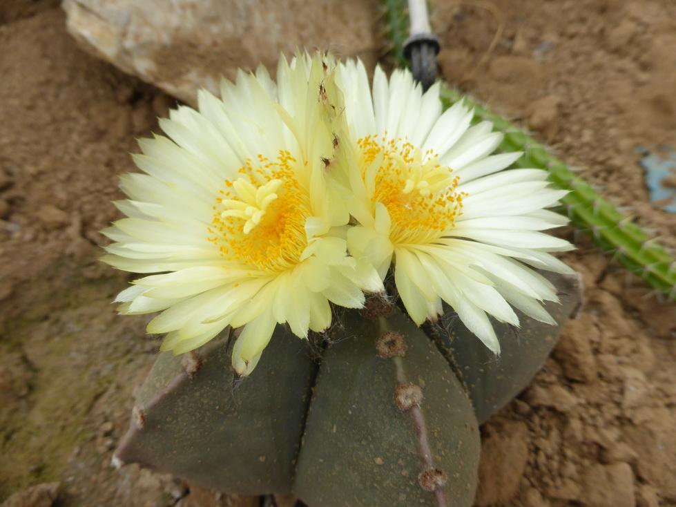 Astrophytum myriostigma v.nudum