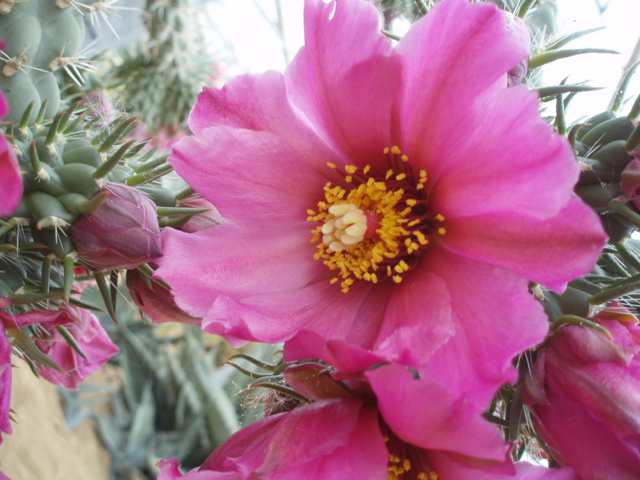 Cylindropuntia sp