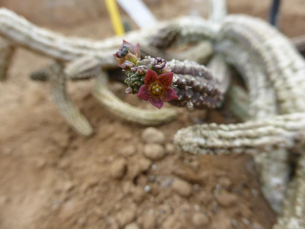 Echidnopsis cereiformis v.brunnea