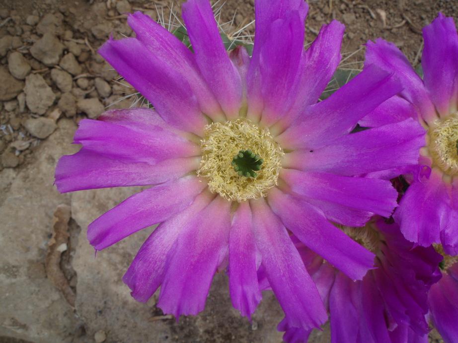 Echinocereus cinarascens