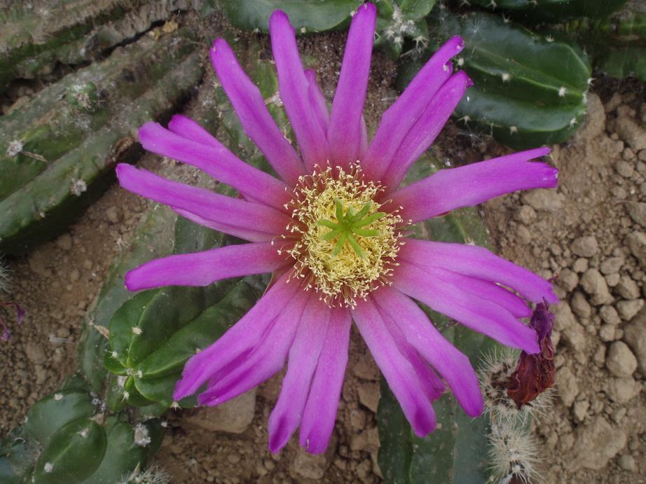 Echinocereus vierecckii