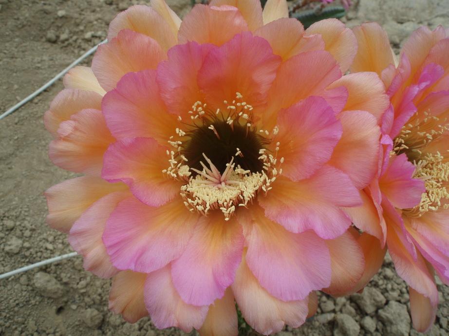 Echinopsis hybride
