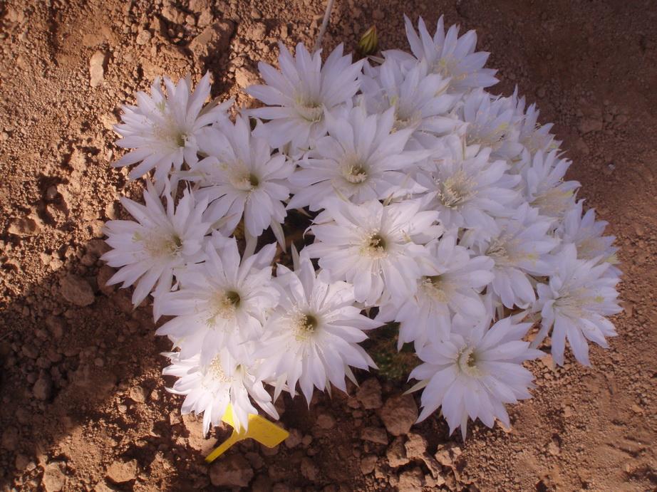 Echinopsis polyancistra