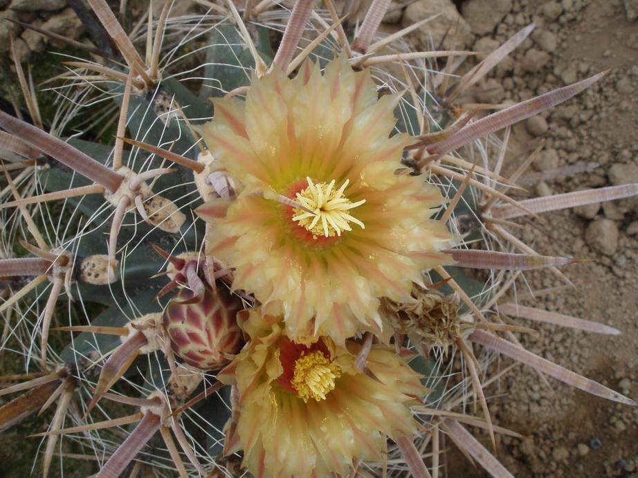 Ferocactus peninsulae subsp santa-maria