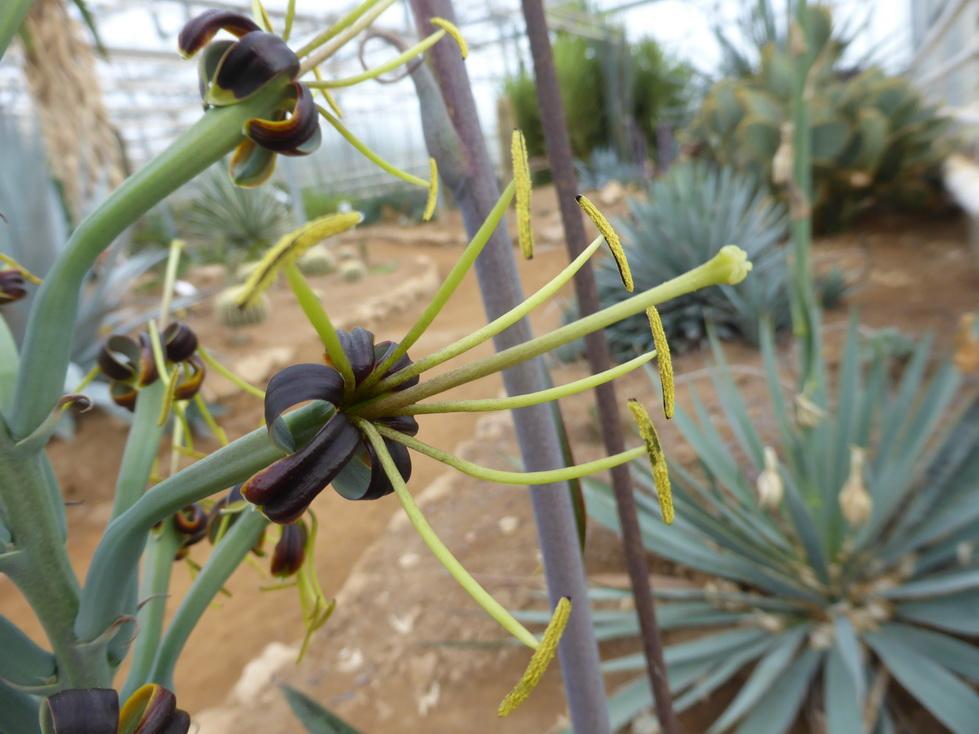 Manfreda variegata