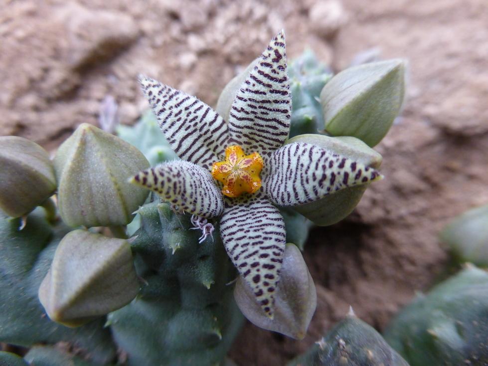 Pieranthus barrydaiensis