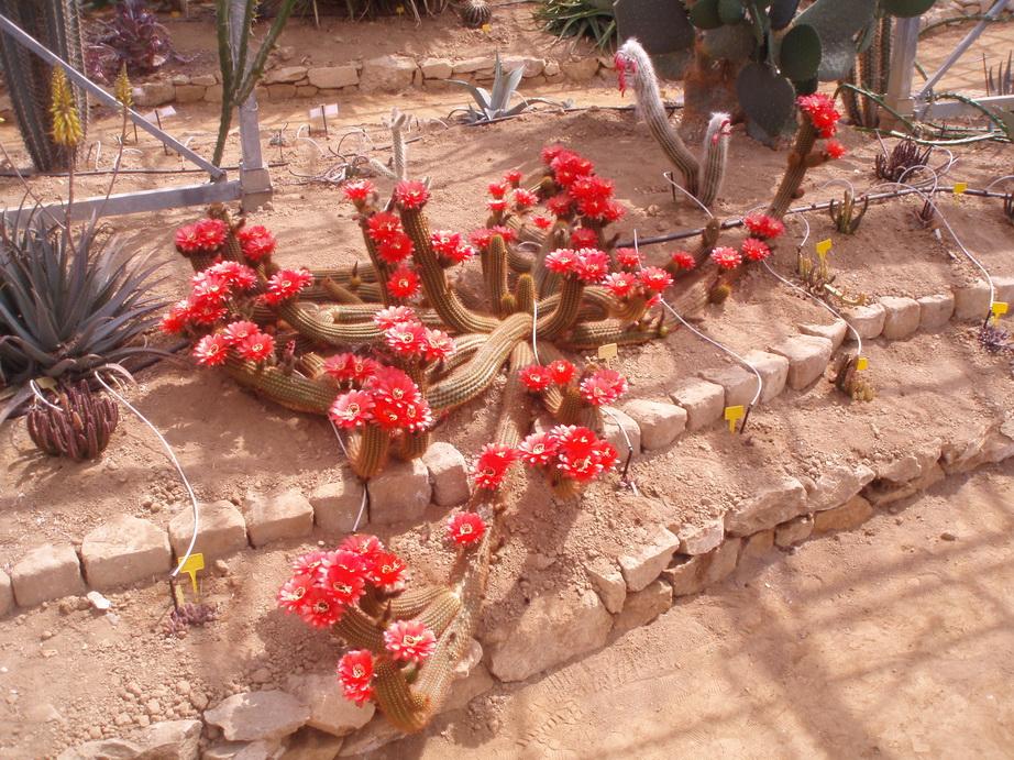 Trichocereus huascha