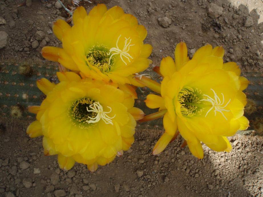 Trichocereus huascha jaune
