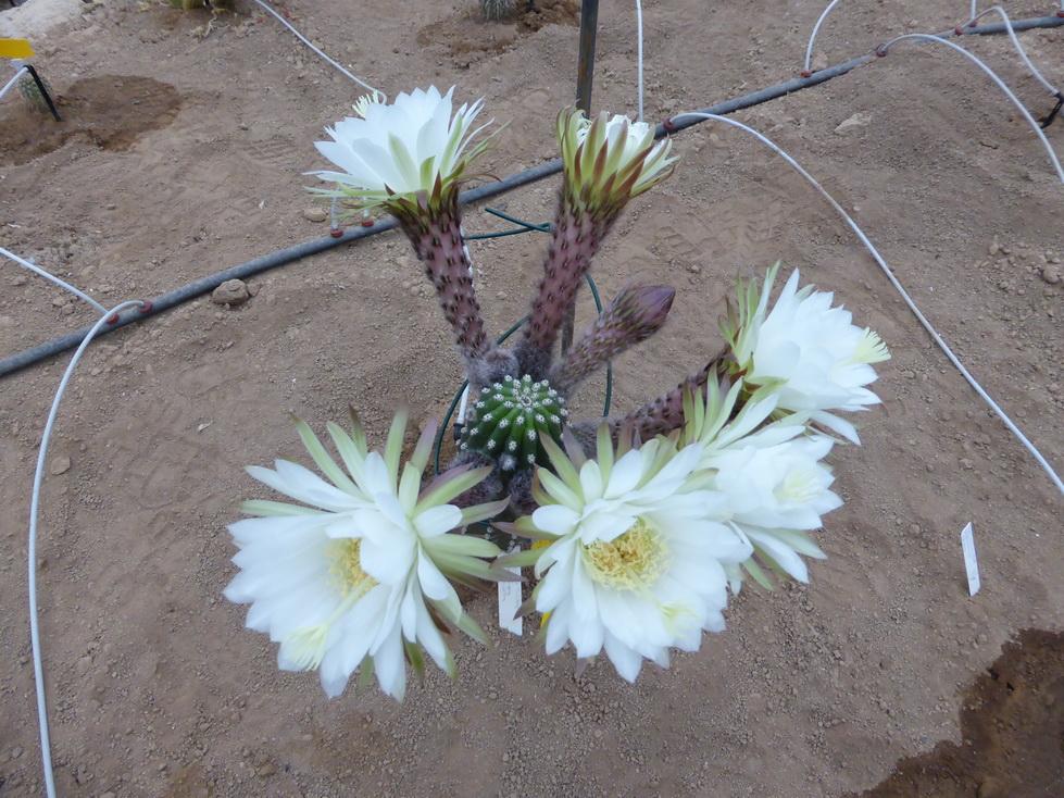 Trichocereus thelegonus X Echinopsis grandiflora