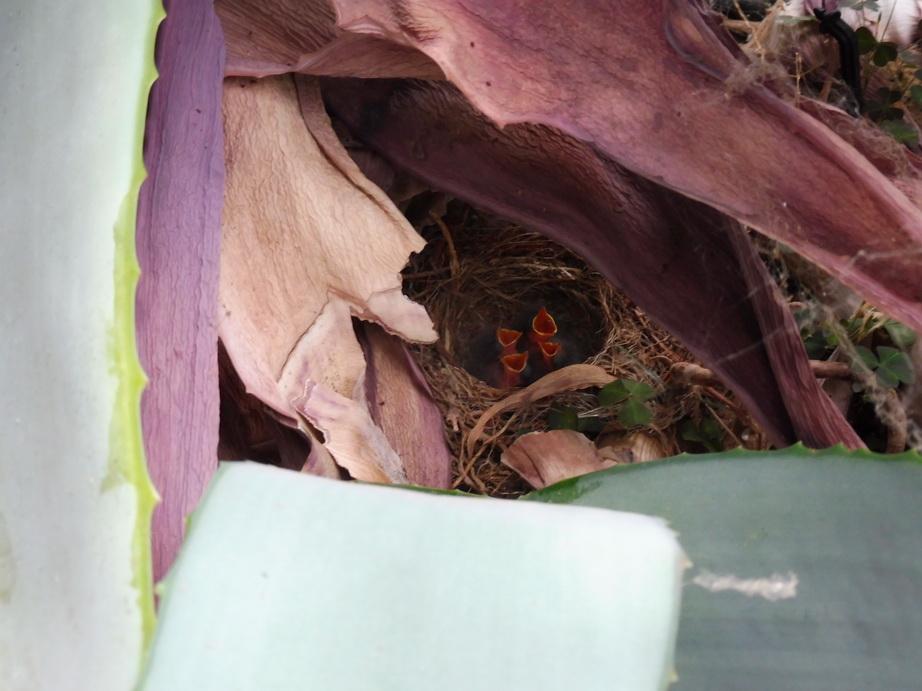 4 petittes bergeronettes sous un Aloe