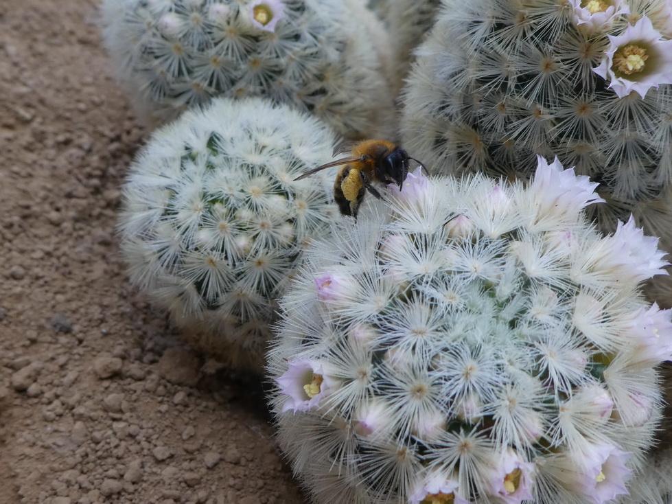 Abeille sur Mammillaria