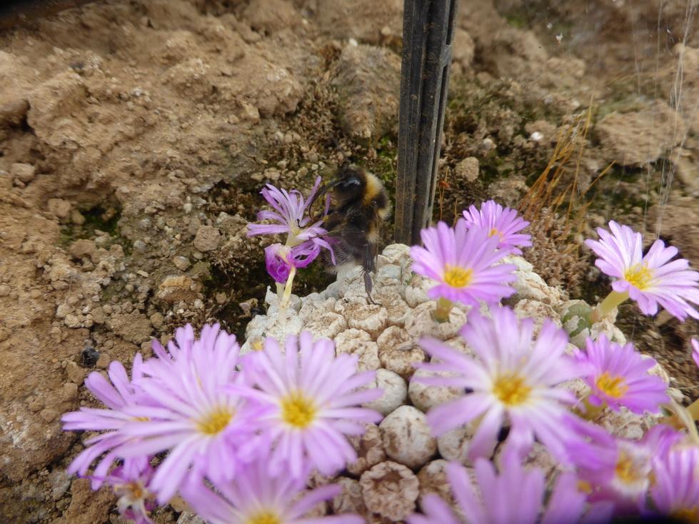 bourdon sur fleurs de Conophytum
