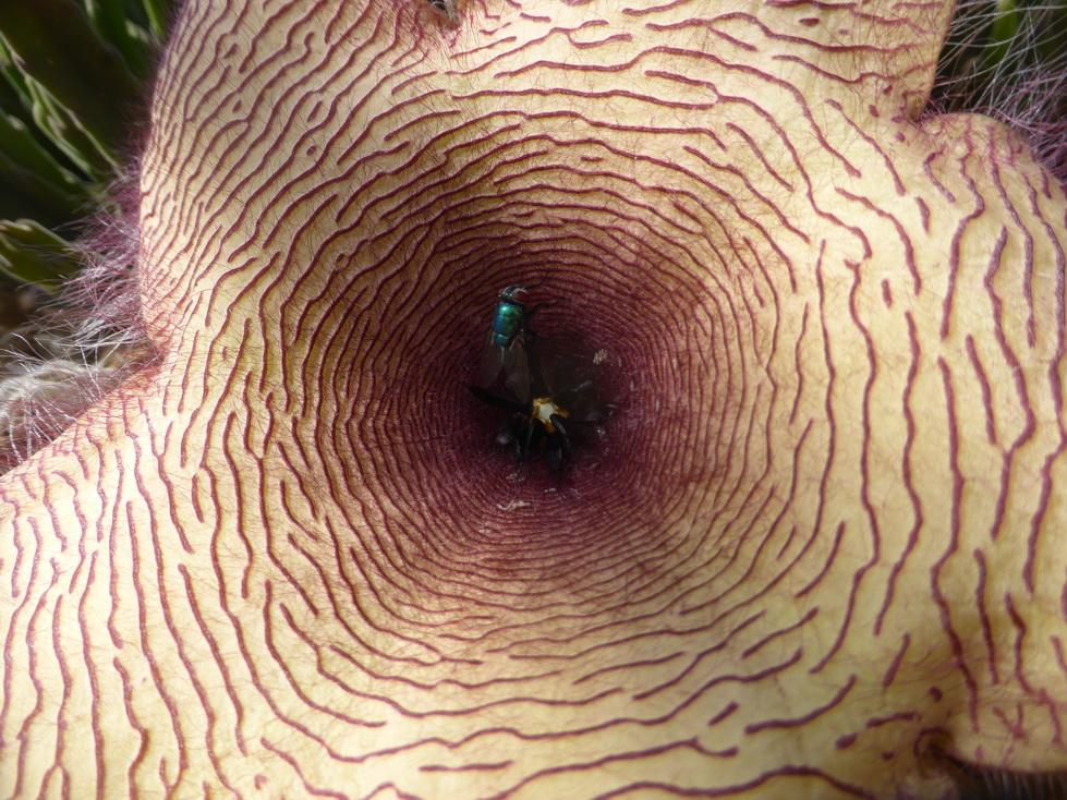 mouche sur une fleur de Stapelia