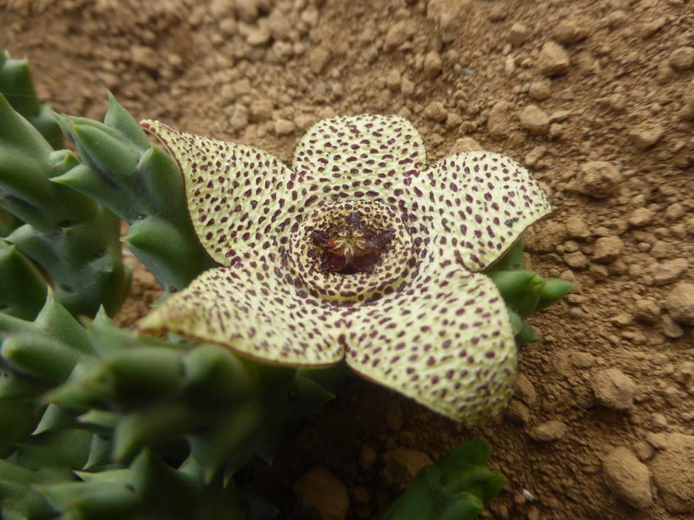 Orbea pulchella