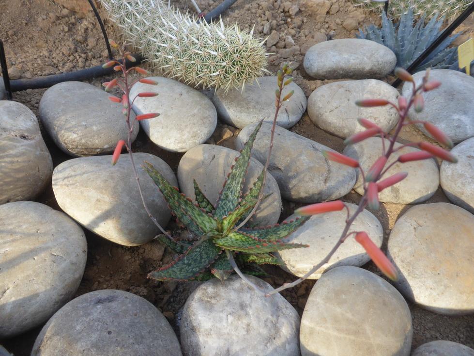 Aloe X gargoyle