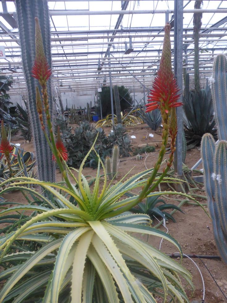 Aloe arborescens variegata
