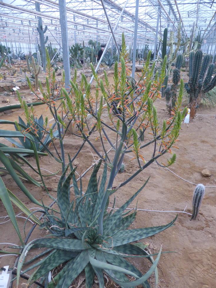 Aloe fosteri