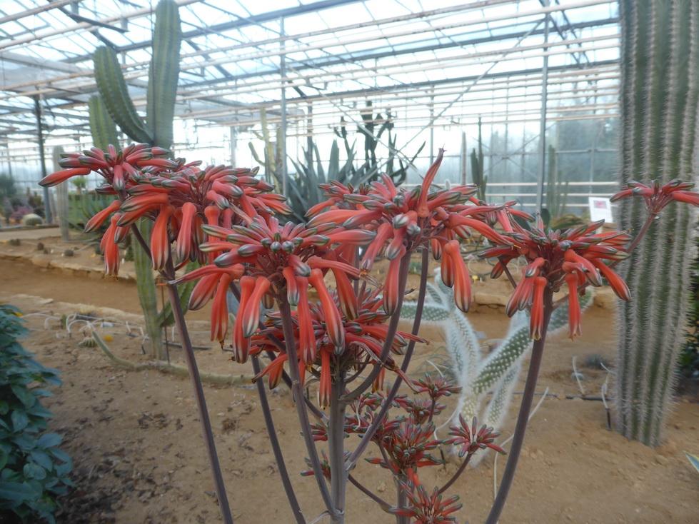 Aloe hahnii
