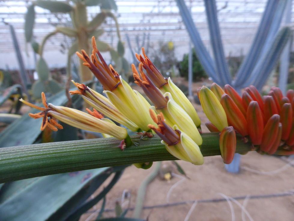 Aloe marlothii X mawii