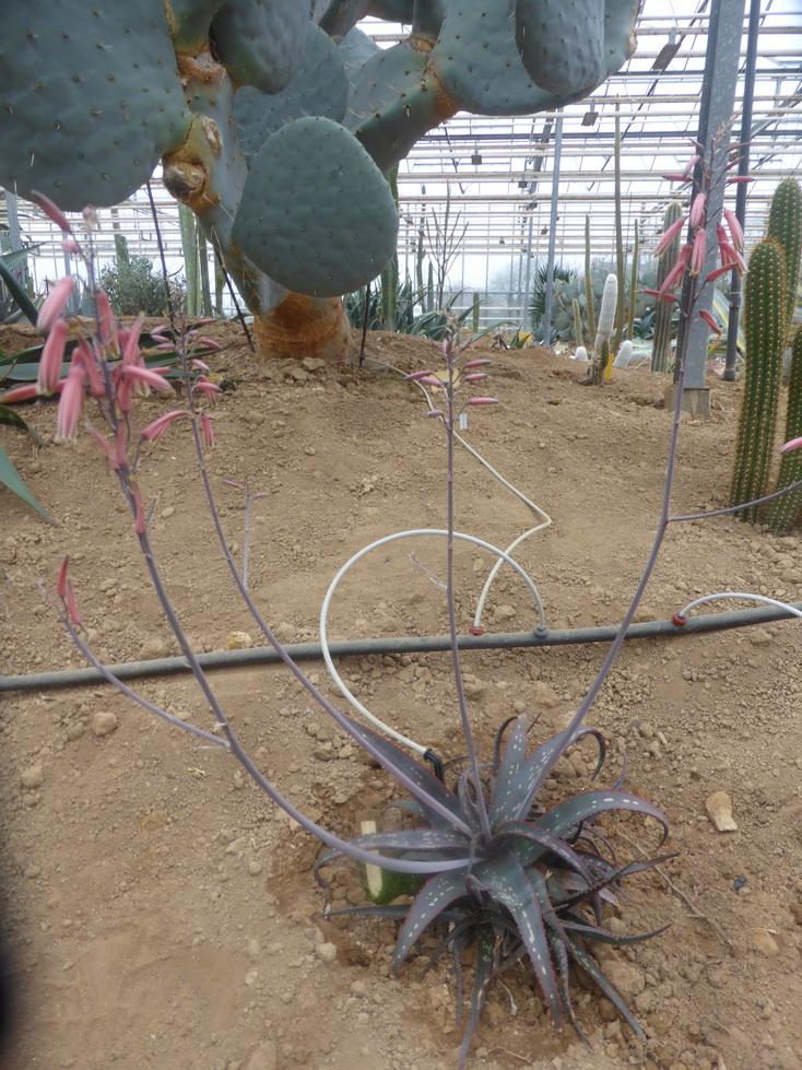 Aloe rebmanii