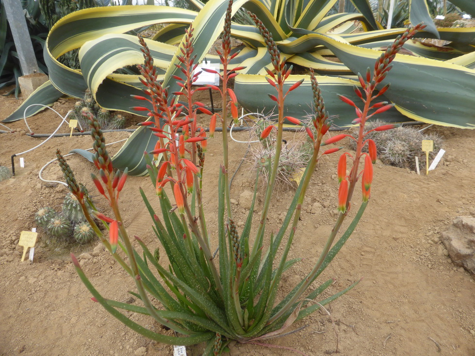 Aloe wildii