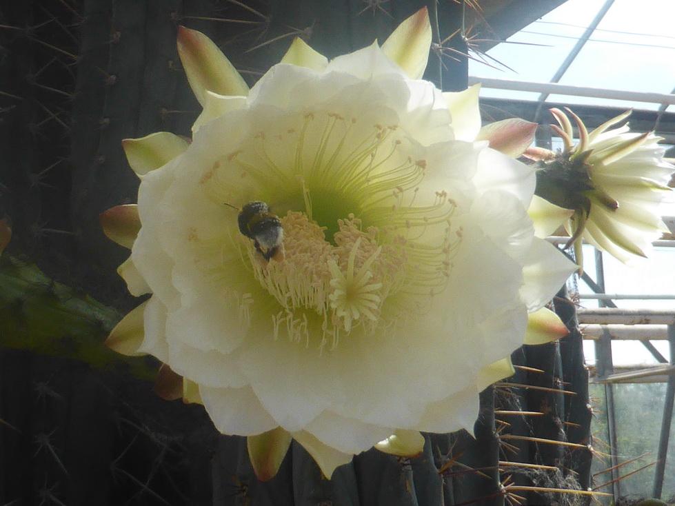 Bourdon sur fleur de Trichocereus
