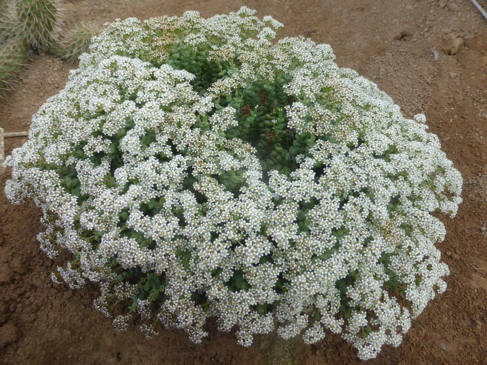 Crassula- brevifolia