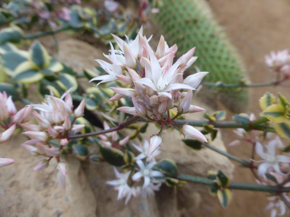 Crassula sarmentosa variegata
