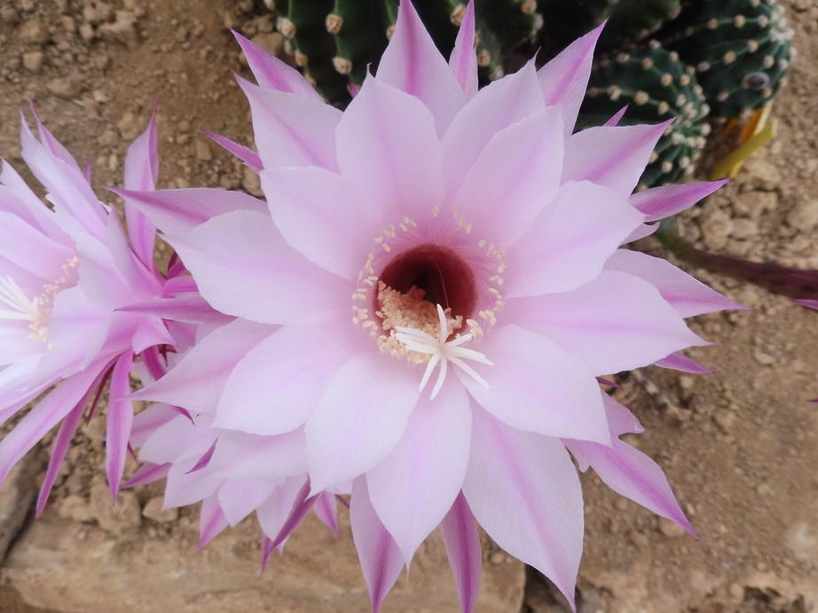 Echinopsis X