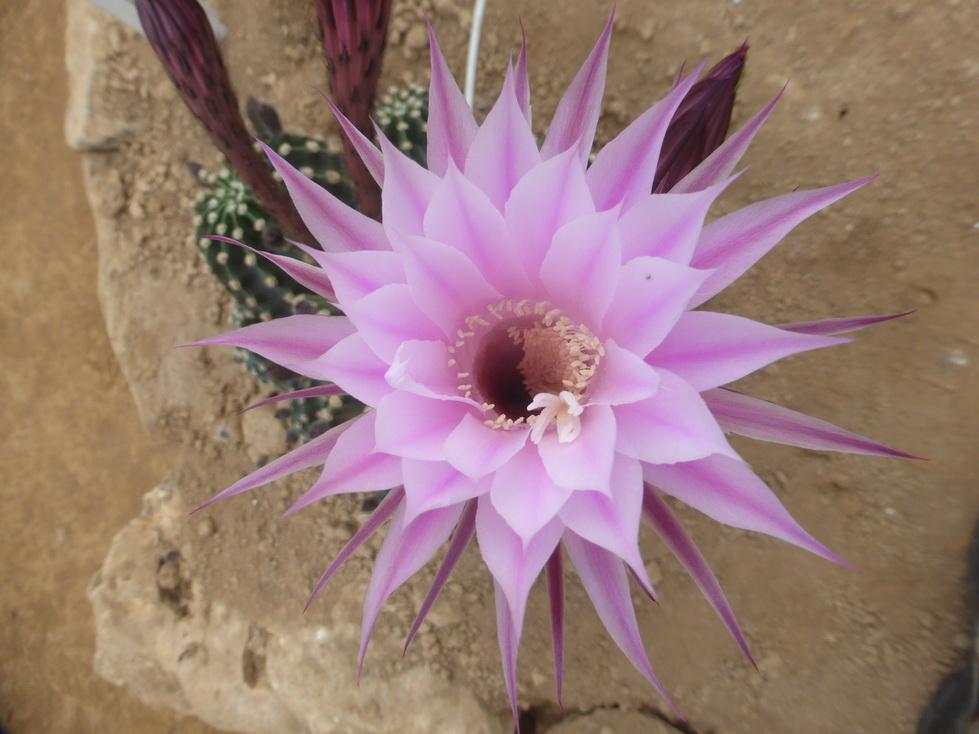 Echinopsis millapensis X