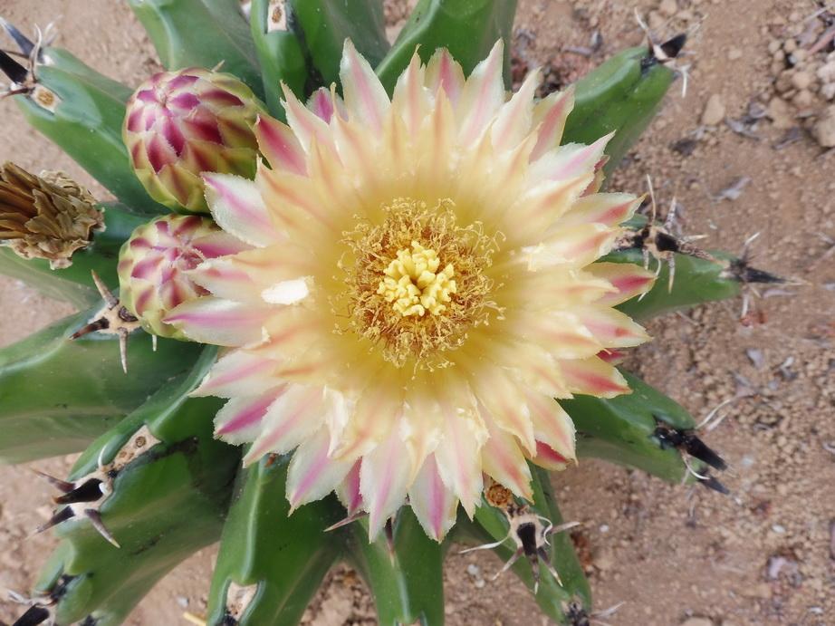 Ferocactus horridus brevispinus