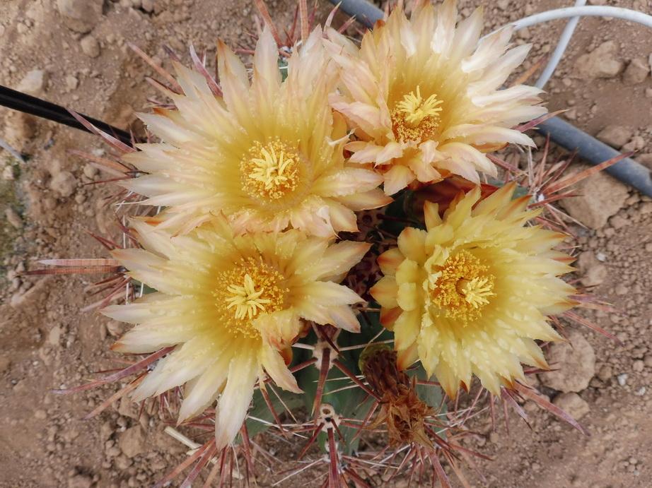 Ferocactus orcutii