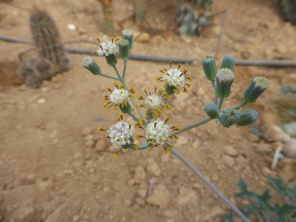 Senecio articulatus v.globosa
