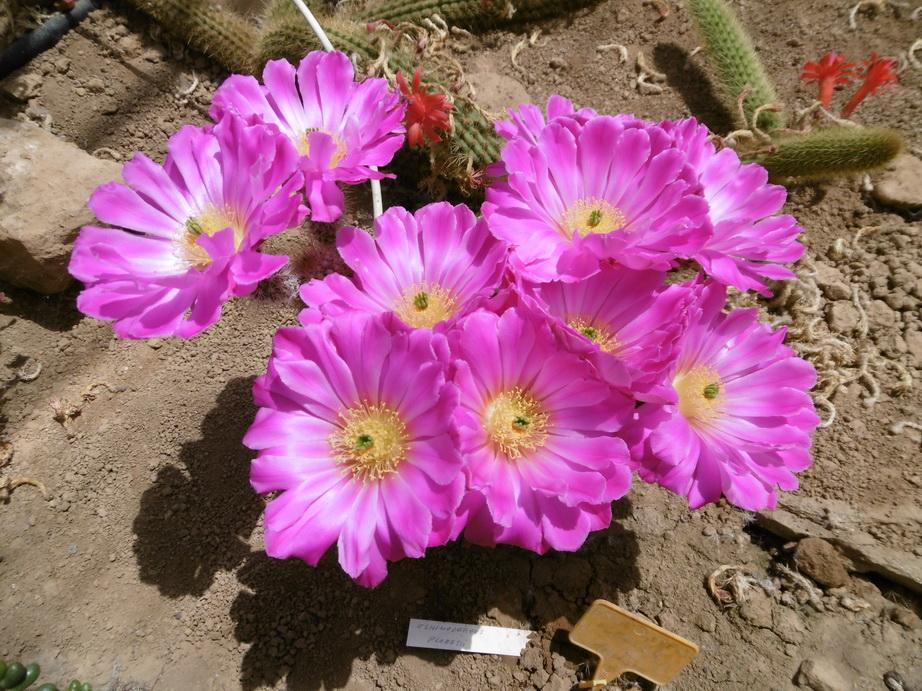 Echinocereus floresii