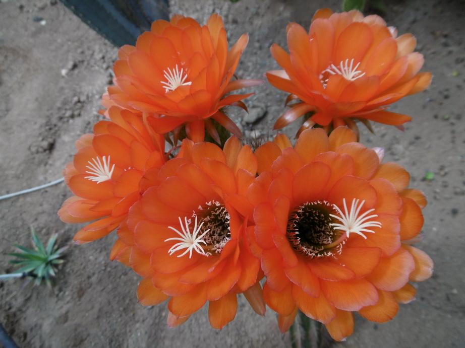 Trichocereus huascha orange
